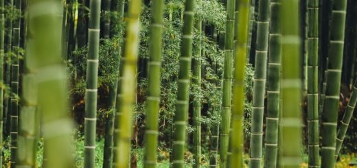 bamboo-nc