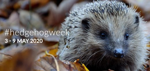 #hedgehogweek