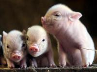 baby-pig-2