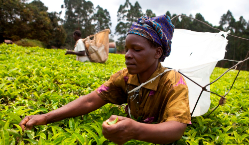 fairtrade tea picker